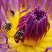 Bees and Lotus 331