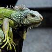 Big Lizard 392