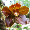 Brown Orchid 351