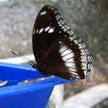 Butterfly 209