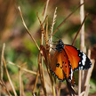 Butterfly 416