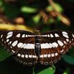 Butterfly 436