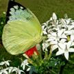 Butterfly 447