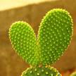 Cactus 367