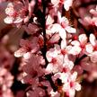 Cherry Flower 570