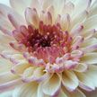 Chrysanthemum 584