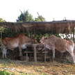 Cows 9