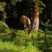 Deer #1 613