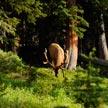 Deer #2 614