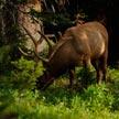 Deer #3 615