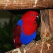 Eclectus Parrot 60