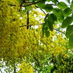 Golden shower Tree 87