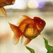 Goldfish #1 622
