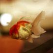 Goldfish #2 623