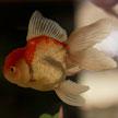 Goldfish #3 624