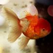 Goldfish #4 625