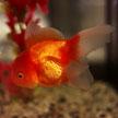 Goldfish # 626