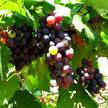 Grape 173