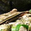 Grass Lizard 341