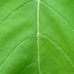 Leaf Texture 466