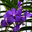 Orchid 247