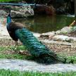 Peacock 85