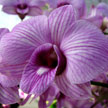 Purple Orchid 523
