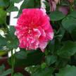 Rose 244