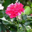 Rose 245