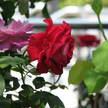 Rose 251