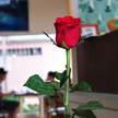 Rose 361