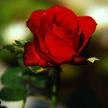 Rose 425