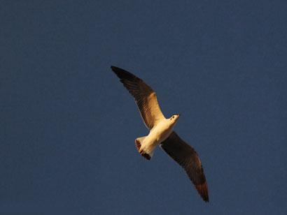 Seagull 389