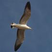 Seagull 411