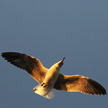 Seagull 433