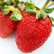 Strawberry 323