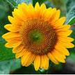 Sun flower 577