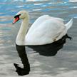 swan 424
