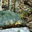 Turtle 83