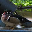 Wood Duck 475