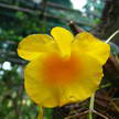 Yellow Orchid 342