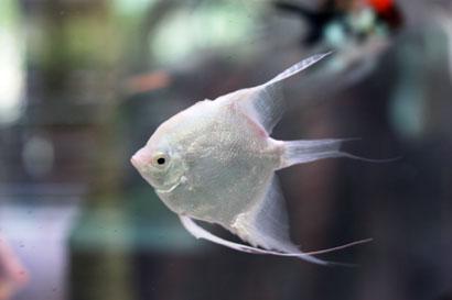 Angelfish 833