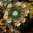 Cactus Flower 899