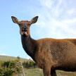 Deer 703