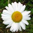 Flower 887