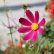 Gerbera Flower 820