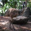 Ostrich 520