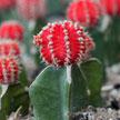Red cactus 821