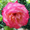 Rose 883