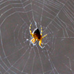 Spider 926